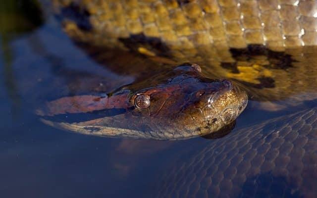 un grand anaconda