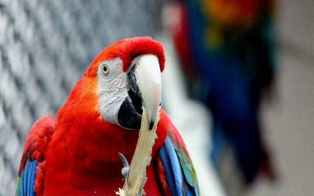 Adoption 5 Choses A Savoir Avant D Adopter Un Perroquet