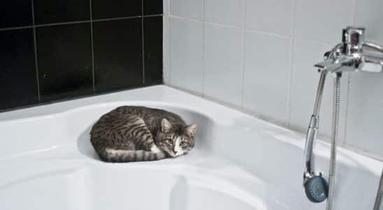 chat dans une baignoire