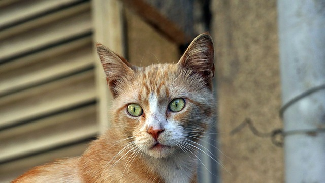 un grand chat roux