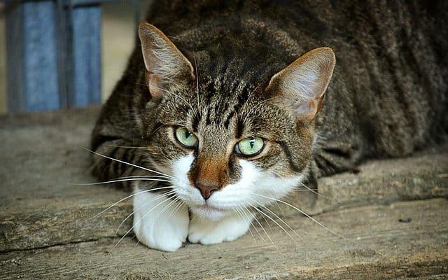 chat castré qui a des chaleurs