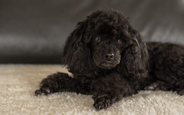 un chien caniche noir