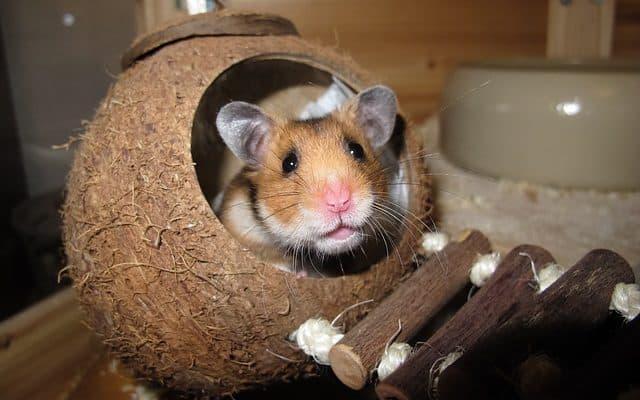 un hamster dans une noix de coco