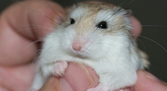 un hamster roborovski
