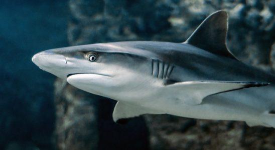 un requin dans la mer