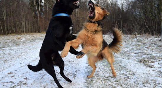 deux chiens agressifs