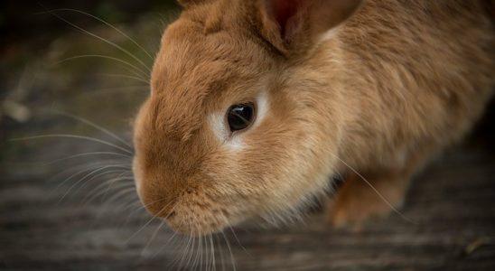 un lapin dans sa cage