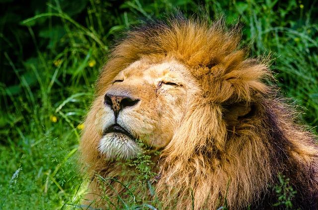 lion dans un safari