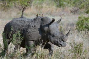 rhinocéros safari