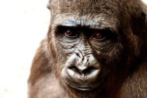 gorille safari