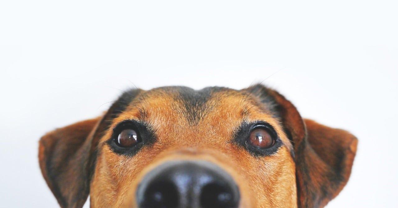 chien punaise de lit
