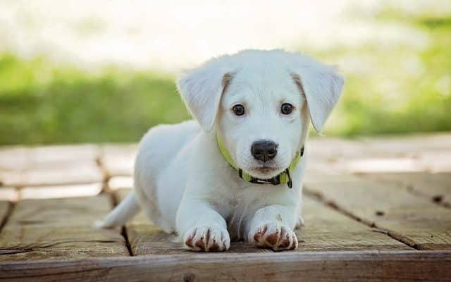 jeune chiot blanc