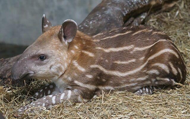 un grand tapir