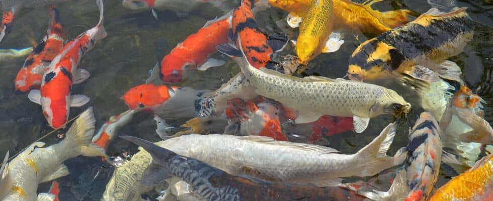 Les carpes koi : les poissons parfaits pour un bassin