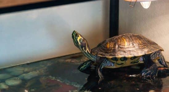 tortue dans un aquarium