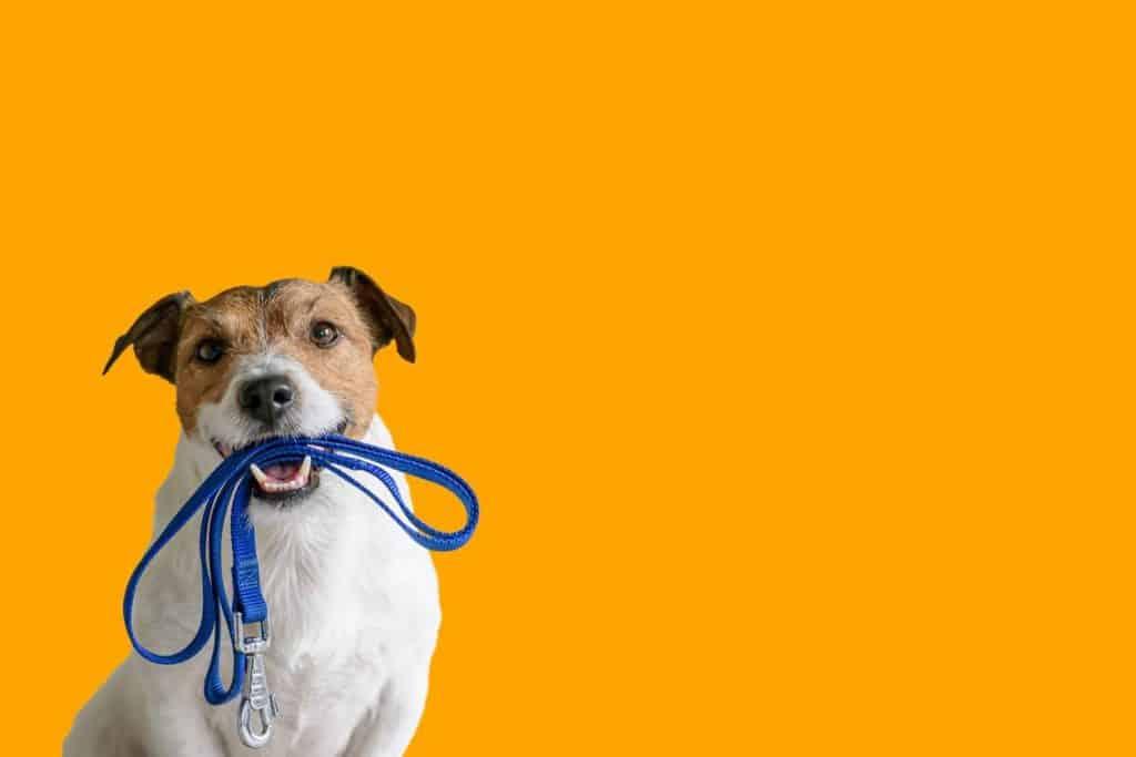 équipement de dressage canin