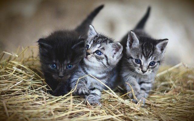 deux chatons sur de la paille